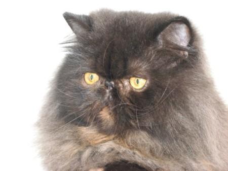 Особенности характера персидских кошек
