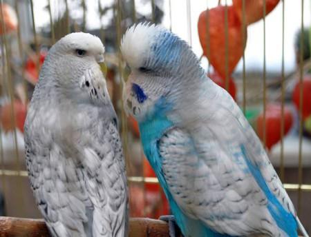Попугай: проблема выбора