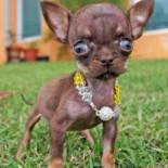 Самая маленькая в мире собака: кто она?
