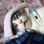 Температурная норма у кошек и котят