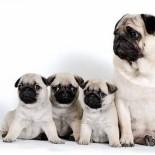 Маленькие любимчики мопсы: что нужно знать владельцам?