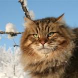 Сибирская кошка: характеристика породы, правильный уход