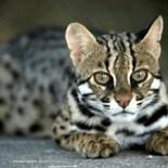Кошка ашера: правильное сбалансированное питание, дрессировка, разведение