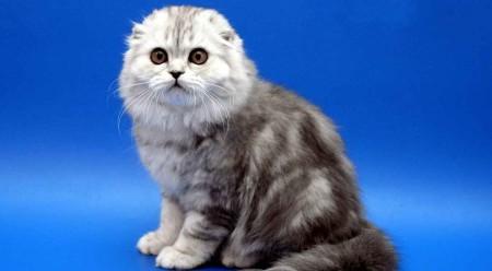 Тонкости характера шотландских кошек