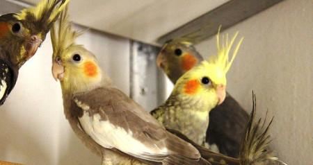Общее описание породы попугаев карела
