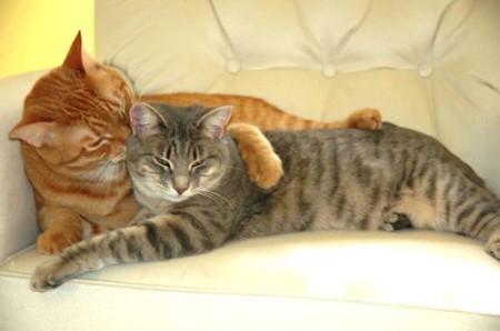 как происходит знакомство кота и кошки