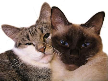 Что нужно знать хозяевам о вязке кошек?