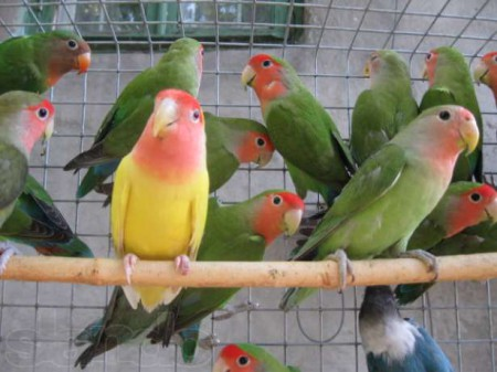Как содержать в неволе попугая