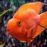 Цихлида попугай и другие: содержание аквариумных красавцев
