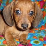Порода собак кроличья такса: особенности содержания и ухода