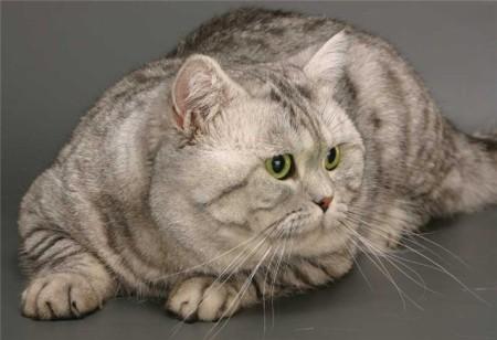 Виды короткошерстных кошек по типу шерсти