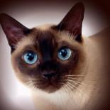 Сиамские кошки: характеристика породы