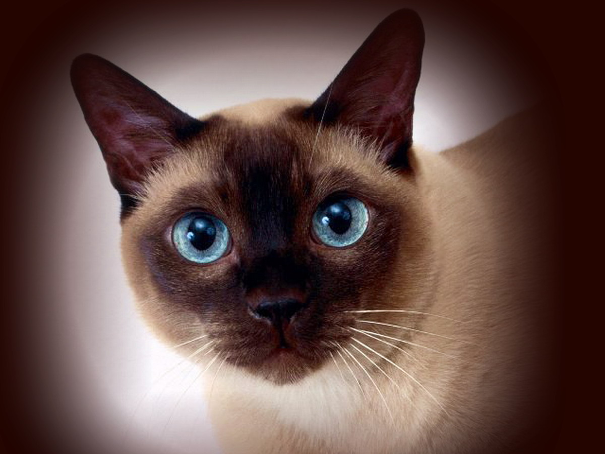 Сиамские кошки особенности породы