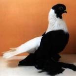 Классификация и характеристики пород голубей