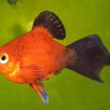 Правильный уход за рыбкой пецилией: сохраняем красоту аквариума