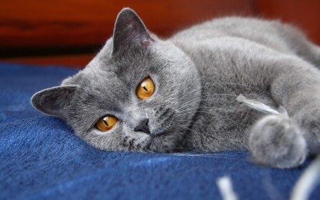Уход за британскими котами