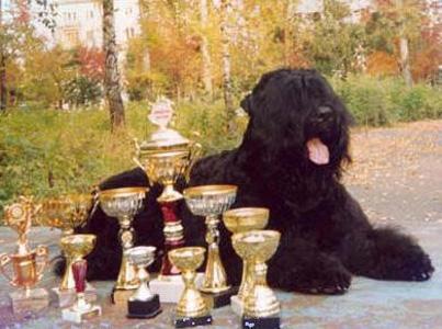 русский черный терьер выставки дрессировка