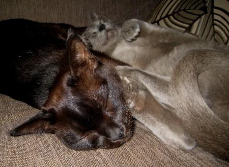 Окрас бурманских кошек