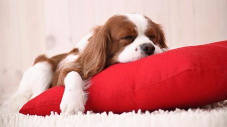 Щенок на подушке