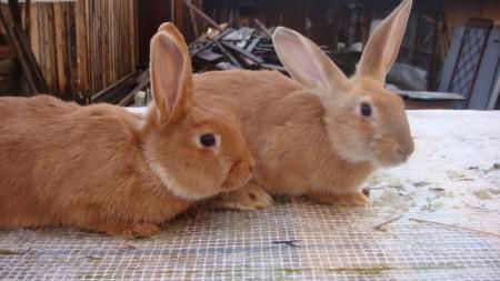 Кролики для мяса и шкуры