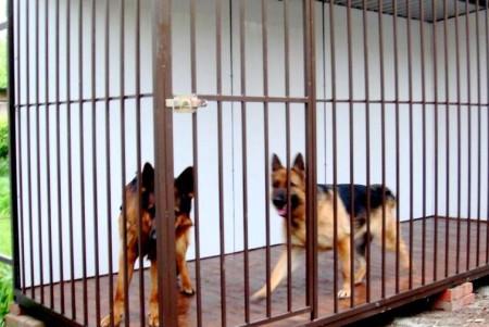 Две собаки у вольере