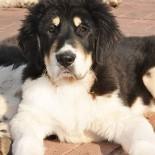 Описание и характеристика болгарской породы овчарок