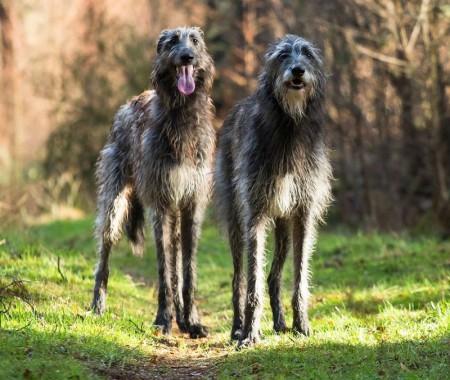Рейтинг самых крупных собак в мире
