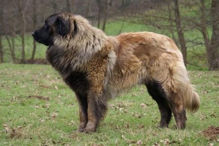 Рейтинг самых больших собак в мире