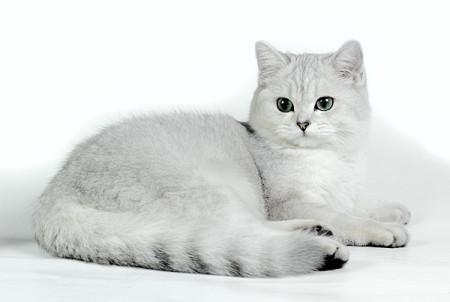 ผลการค้นหารูปภาพสำหรับ британская цвета серебристая шиншилла