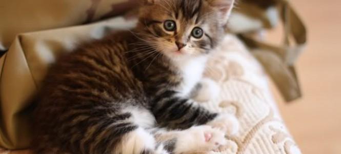 Котенок не какает: причины, диагностика, лечение