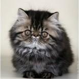 Персидские кошки: характер, особенности содержания