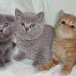 Шотландские котята: содержание, питание, воспитание