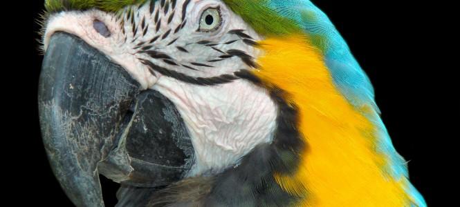 Попугай ара: особенности породы, разновидности