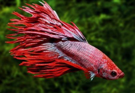 Красный петушок