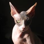 Сфинкс кошка: характеристика породы и особенности ухода