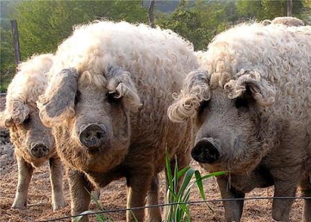 Группы разделения между породами свиней