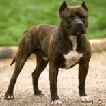 Что нужно знать заводчику о породе собак питбуль