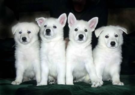 Выбор щенка белой швейцарской овчарки