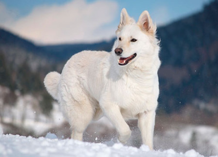 Характер белой швейцарской овчарки