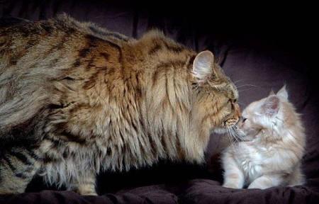 самые большие кошки особенности характеристика пород