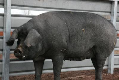 Мясо и мясосальная группа свиней