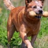 Какие из пород собак считаются самыми умными?