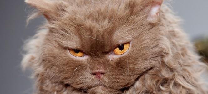 Виды и особенности редких пород кошек