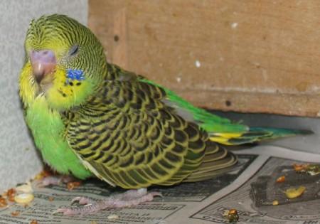 диарея у попугая