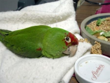 болезни попугаев диарея