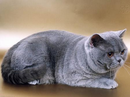Основы ухода шотландских кошек