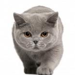 Британский кот: характер, окрас, стандарты породы