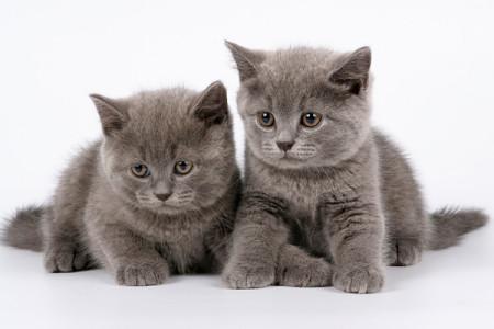 Жилище для шотландских котят