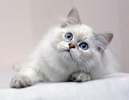 разновидности британских кошек фото