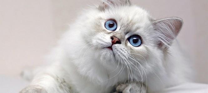Характеристика и разновидности породы кошки британская длинношерстная